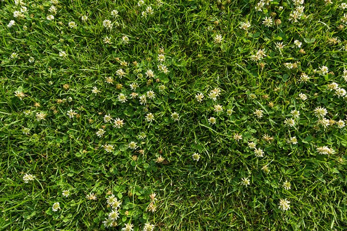 pros and cons of clover lawns