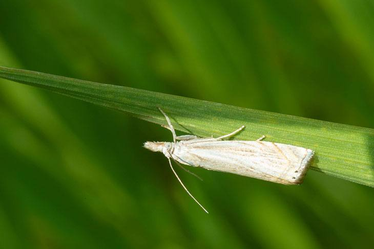 how to get rid of sod webworms naturally