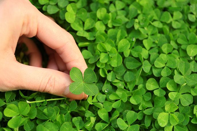 micro clover lawn pros and cons