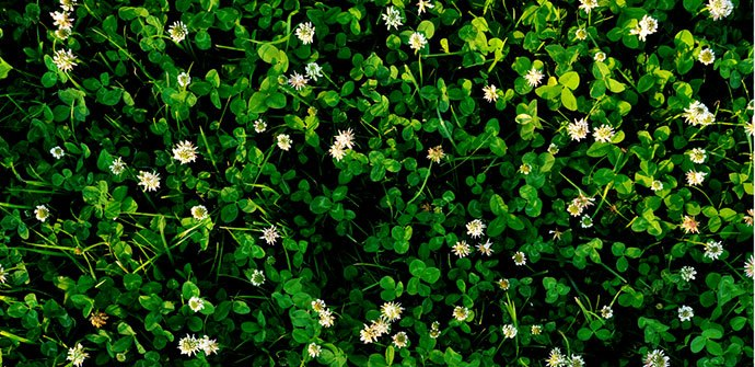 mini clover lawn pros and cons
