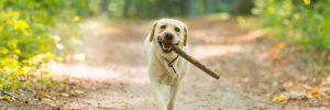 best dog food for labradors